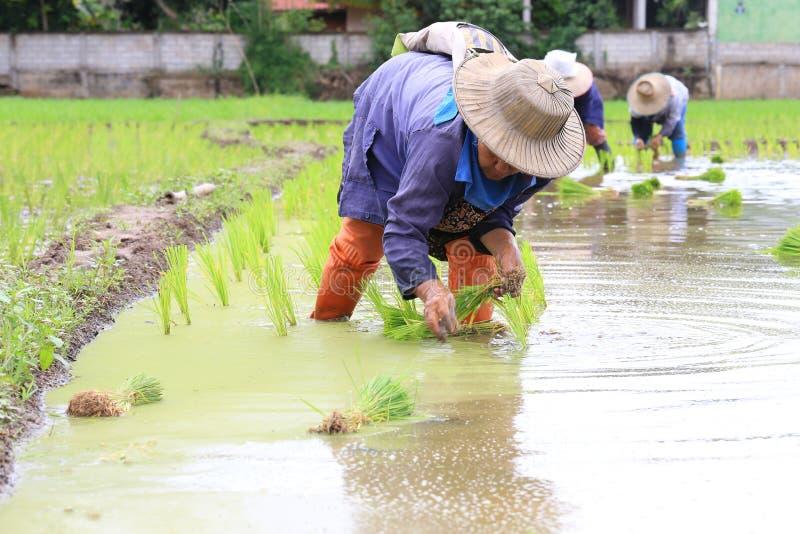 Фермер засаживая неочищенные рисы стоковая фотография