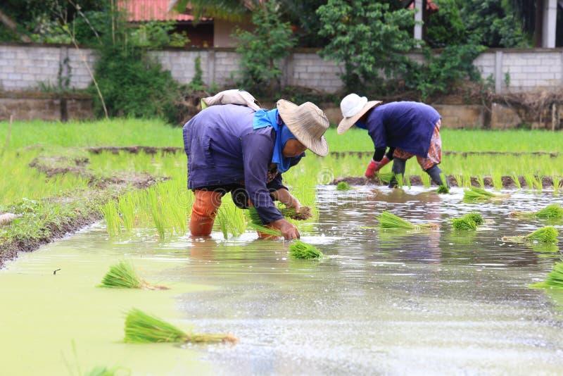 Фермер засаживая неочищенные рисы стоковые фотографии rf