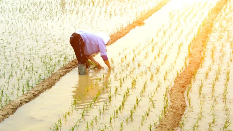 Фермер засаживая рис в поле стоковые изображения