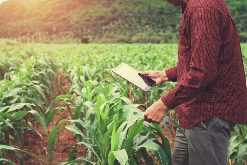 фермер используя планшет проверяя данные мозоли f земледелия стоковое изображение rf