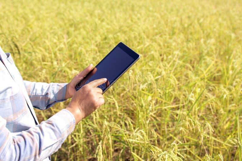 фермер используя технологию планшета проверяя расти риса стоковые фото