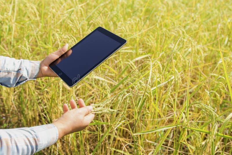 фермер используя технологию планшета проверяя расти риса стоковое фото rf