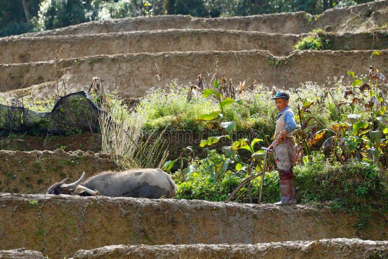 Фермер и индийский буйвол на работе в полях риса Юньнань, Китая Yuanyang, Юньнань, Китай стоковая фотография