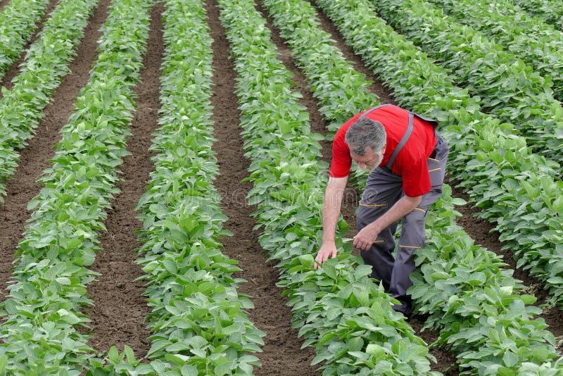 Фермер или agronomist в поле фасоли сои рассматривают завод стоковое изображение rf