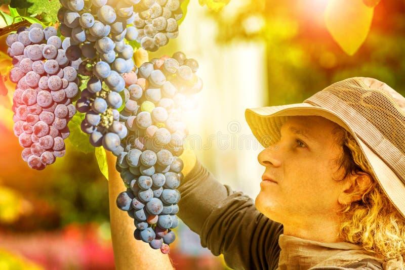 Фермер контролируя красную виноградину стоковое изображение