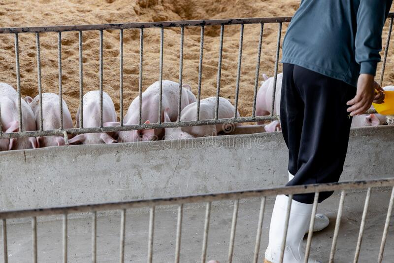 Фермер кормит свиней в натуральном сельском хозяйстве Животноводство стоковые фотографии rf
