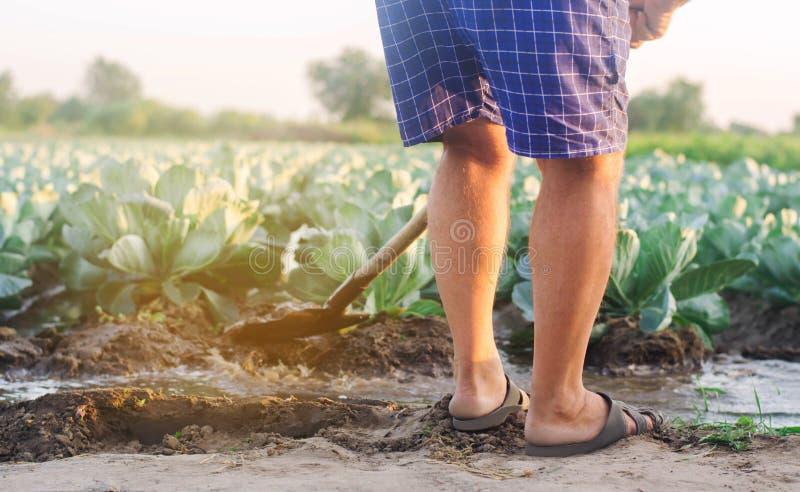 Фермер мочит поле естественный полив Плантации капусты растут в поле vegetable строки Земледелие сельского хозяйства стоковые изображения rf