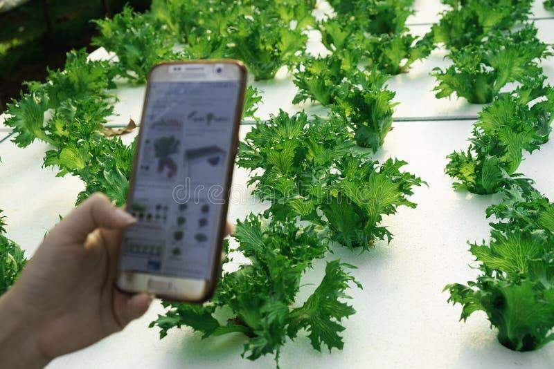 Фермер наблюдая овощем роста нескольких диаграмм хранил в мобильном телефоне, ферме 4 hydroponic eco органической современной умн стоковая фотография rf