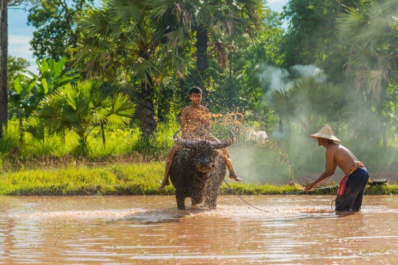 Фермер окуная воду и бросая к буйволу ванны стоковое изображение rf