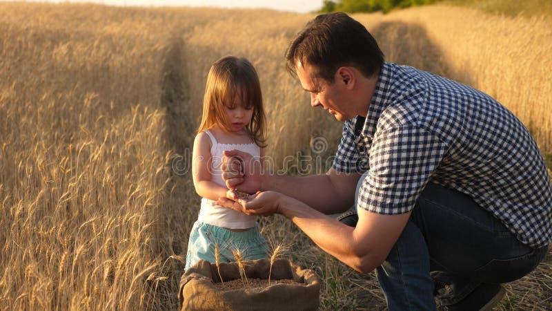 Фермер отца играет с меньшим сыном, дочерью в поле зерно пшеницы в руках ребенка Папа agronomist и стоковые изображения