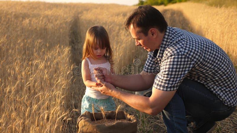 Фермер отца играет с меньшим сыном, дочерью в поле зерно пшеницы в руках ребенка Папа agronomist и стоковое изображение rf