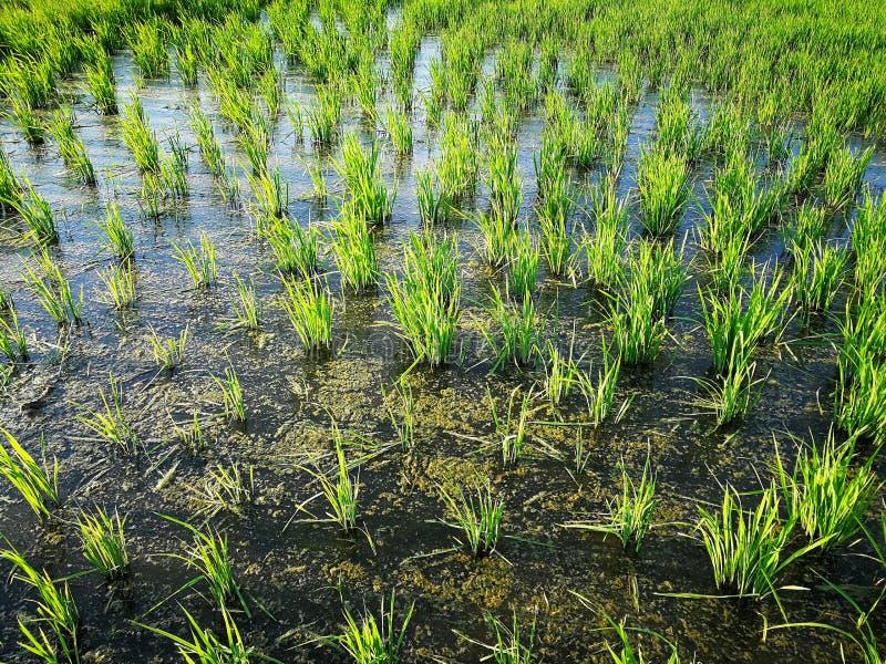 Фермер падиа полей риса зеленый стоковые фотографии rf