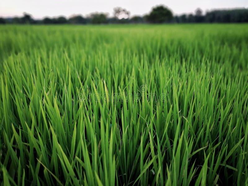 Фермер падиа полей риса зеленый стоковая фотография