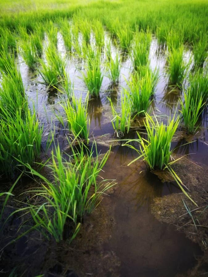 Фермер падиа полей риса зеленый стоковое изображение