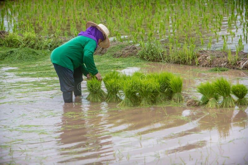Фермер полощет рис от пука в рисовых полях Азиатское земледелие стоковые фото