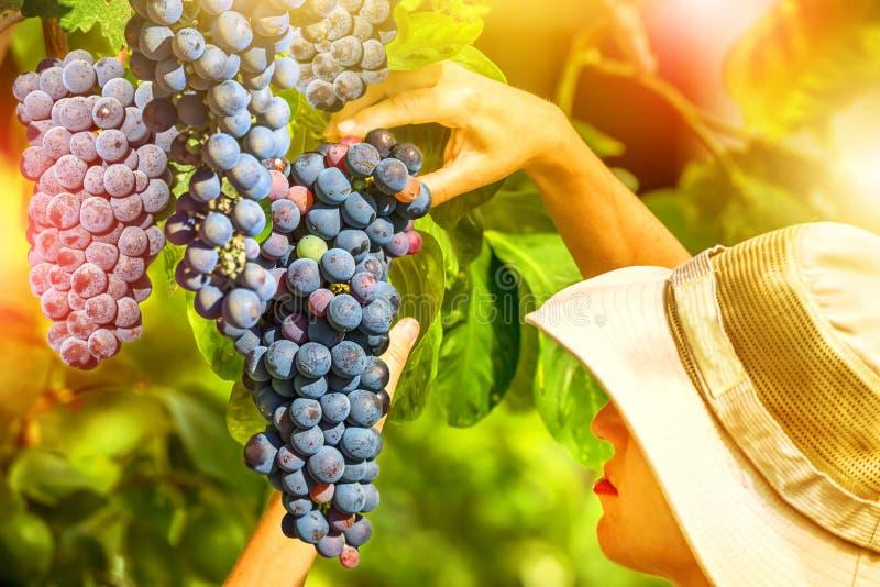 Фермер проверяя виноградины стоковая фотография rf