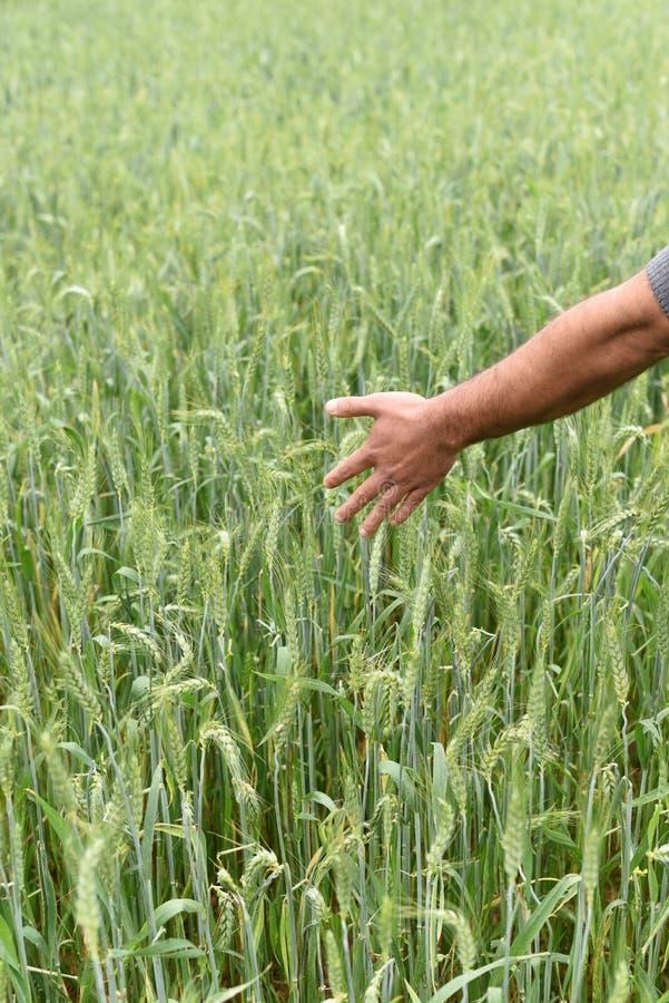 Фермер проверяя здоровье его сочного зеленого пшеничного поля стоковое фото