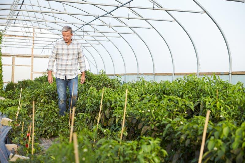 Фермер проверяя органические заводы чилей в парнике стоковое изображение rf