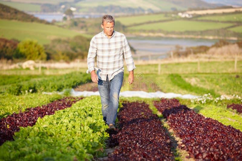 Фермер проверяя органические листья салата на ферме стоковые фотографии rf
