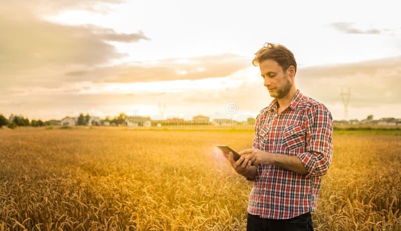 Фермер работая на использовании таблетки перед пшеничным полем стоковые фото