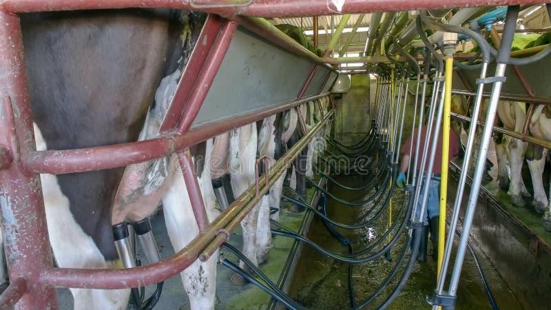 Фермер работая на молочной ферме в Виктории, Австралии стоковые фото