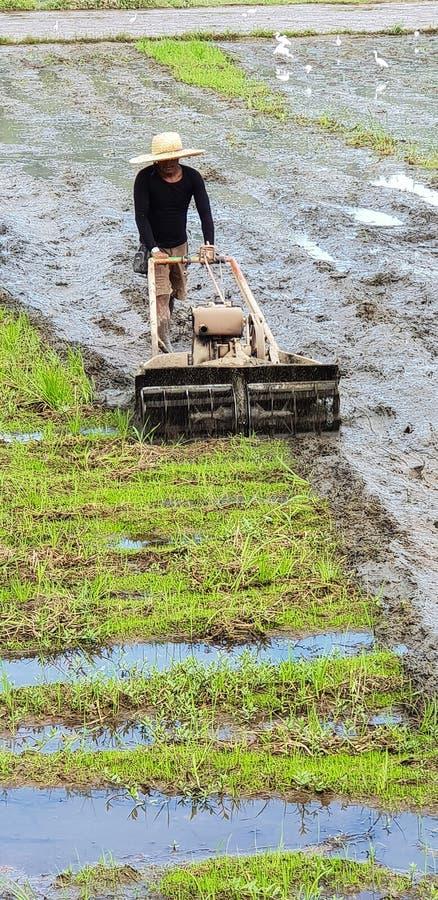 Фермер работая трудный клонить к его урожаю риса в Mindanao Филиппинах стоковые фото