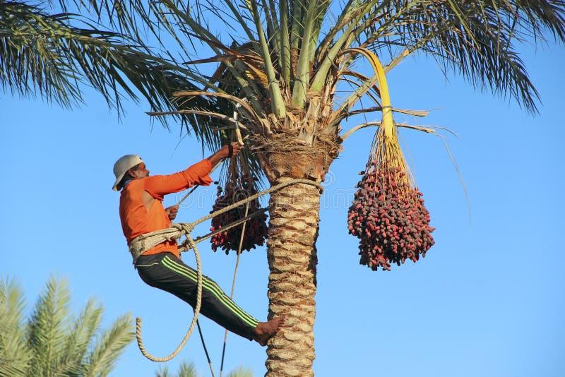 Фермер режа зрелые плоды от фермы даты Даты сбора человека на пальмах стоковые фотографии rf