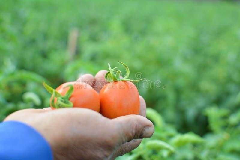 Фермер руки держа красный томат стоковое фото rf