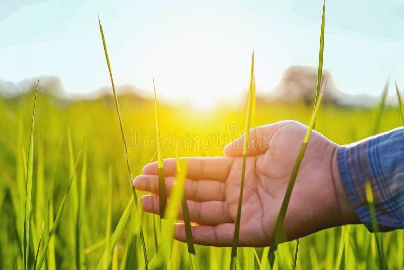 фермер руки касаясь зеленому рису в ферме стоковые изображения