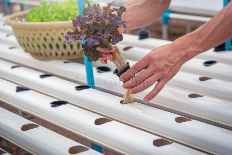Фермер собирает зеленый hydroponic органический овощ салата в ферме, стоковое изображение