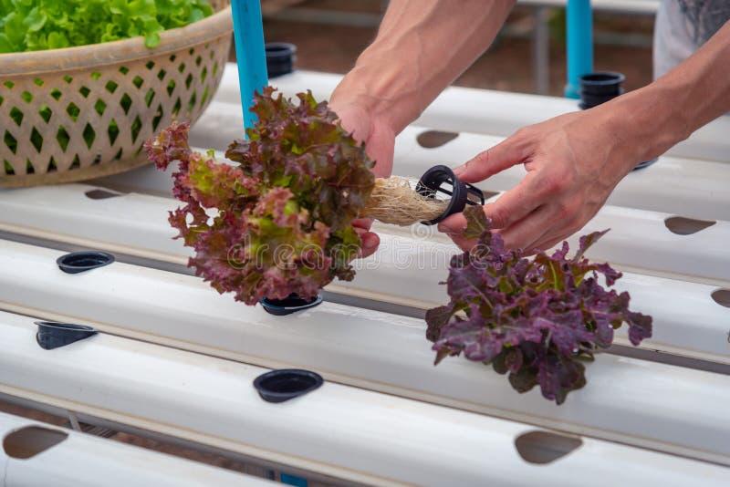 Фермер собирает зеленый hydroponic органический овощ салата в ферме, Таиланде r стоковое фото rf