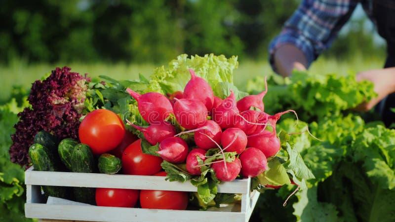 Фермер собирает овощи в своем саду, коробку на переднем плане. стоковое изображение
