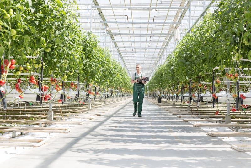 Фермер с клетью идя между заводами в парнике стоковое фото