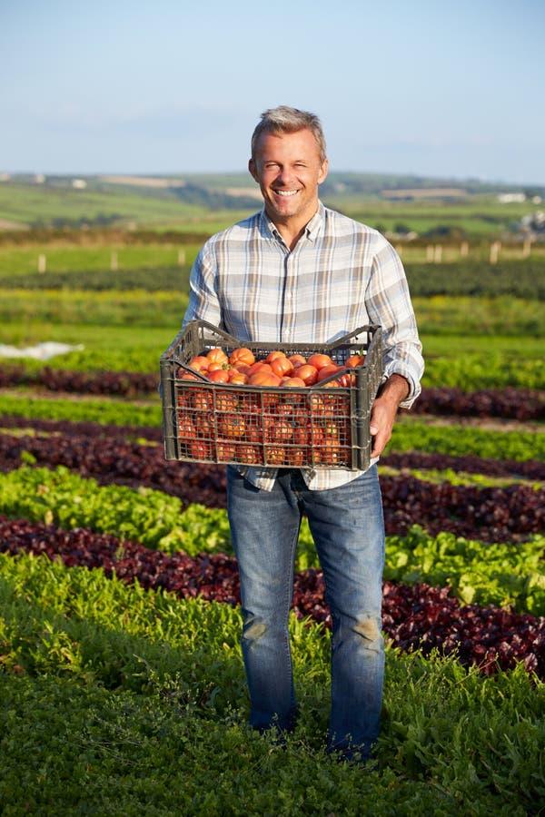 Фермер с органическим урожаем томата на ферме стоковые фотографии rf