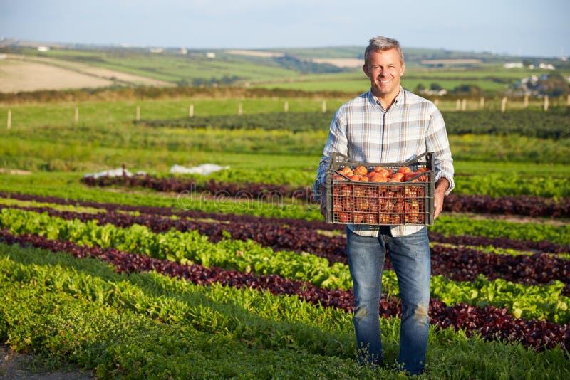 Фермер с органическим урожаем томата на ферме стоковое фото
