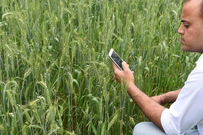 Фермер с умным телефоном перед его сочной зеленой фермой пшеницы стоковые изображения rf