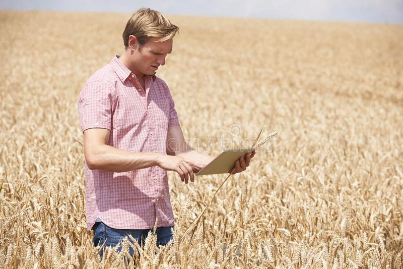 Фермер с урожаем пшеницы таблетки цифров рассматривая в поле стоковое изображение rf