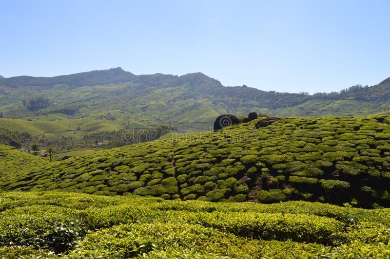 Фермы чая стоковая фотография