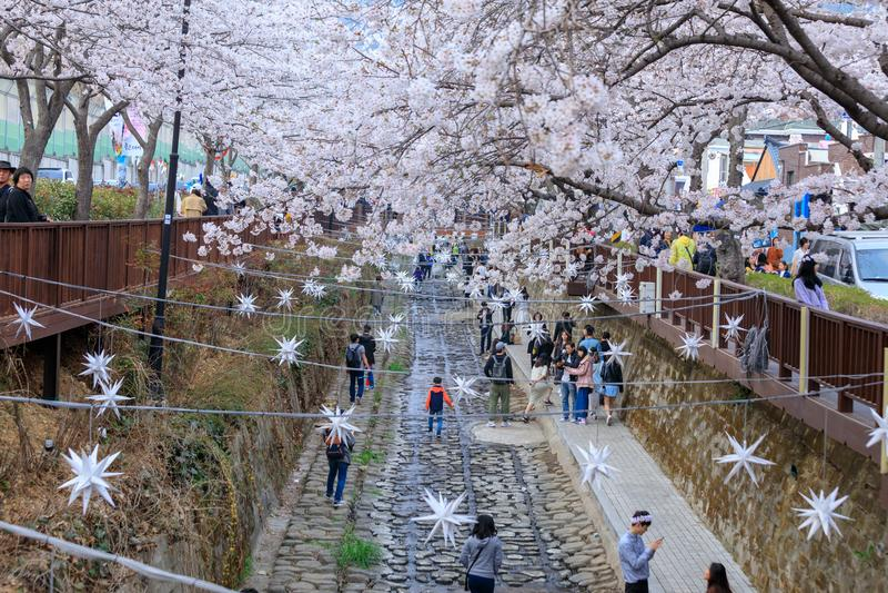 Фестиваль вишневого цвета весны на потоке Yeojwacheon в Чинхэ стоковые фотографии rf