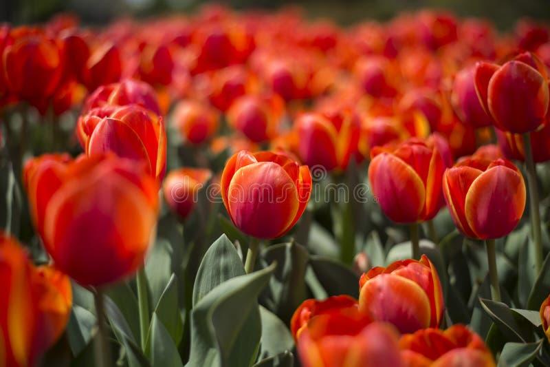 Фестиваль тюльпана в Австралии во время зацветая сезона стоковое фото