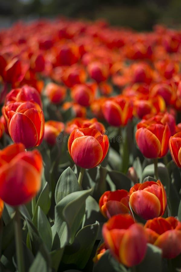 Фестиваль тюльпана в Австралии во время зацветая сезона стоковые изображения rf