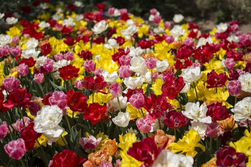 Фестиваль тюльпана в Австралии во время зацветая сезона стоковое фото rf