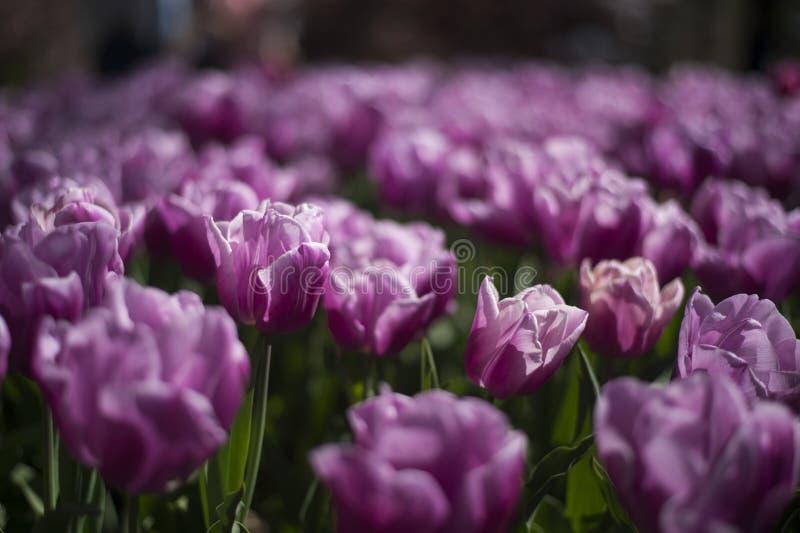 Фестиваль тюльпана в Австралии во время зацветая сезона стоковые фотографии rf