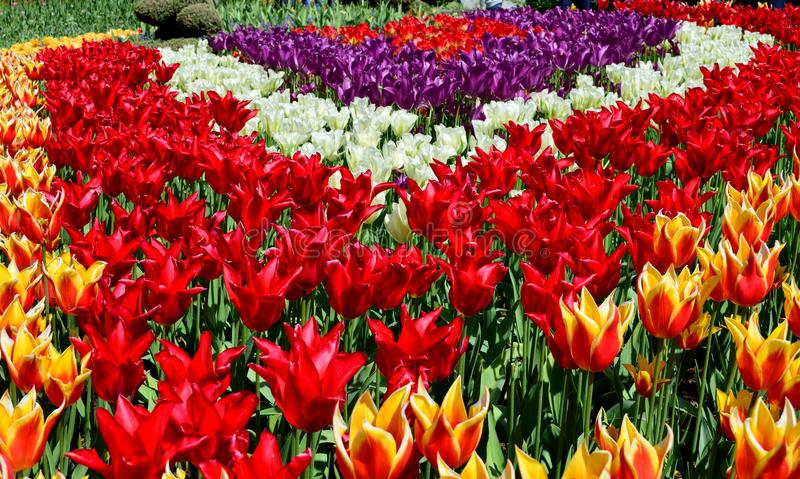 Фестиваль тюльпана долины Skagit фестиваль тюльпана в долине Skagit штата Вашингтона Держится ежегодно весной, стоковое изображение