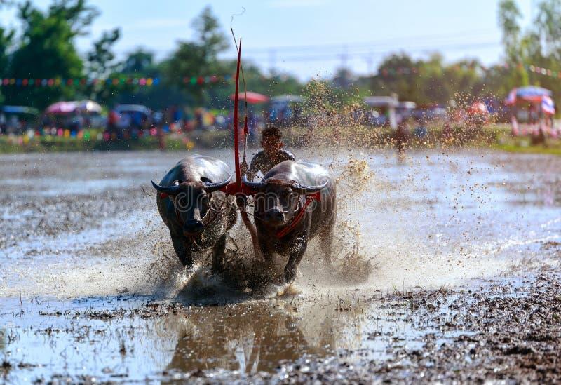 Фестиваль гонок буйвола на провинции Chonburi, Таиланде стоковое изображение