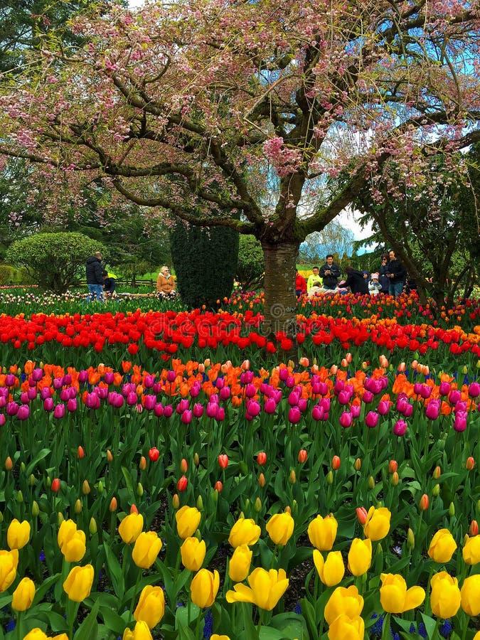 Фестиваль тюльпана в долине Skagit стоковое изображение rf