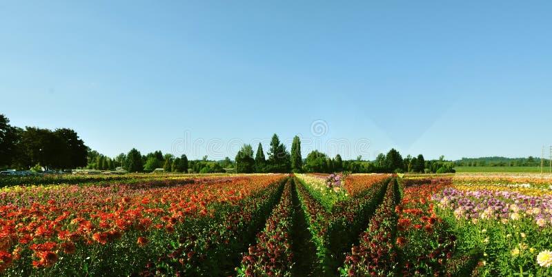 Download Фестиваль тюльпана иллюстрация штока. иллюстрации насчитывающей элита - 33737834
