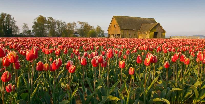 Фестиваль тюльпана стоковое изображение