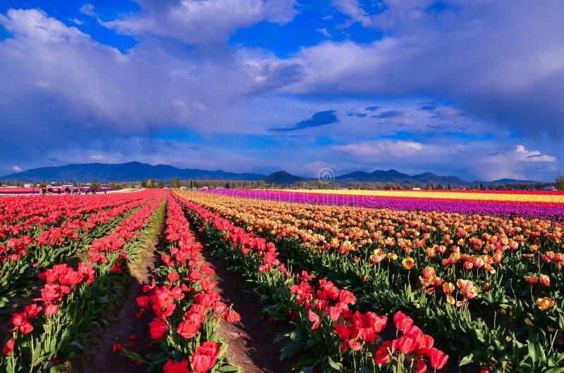 Фестиваль тюльпана стоковые изображения