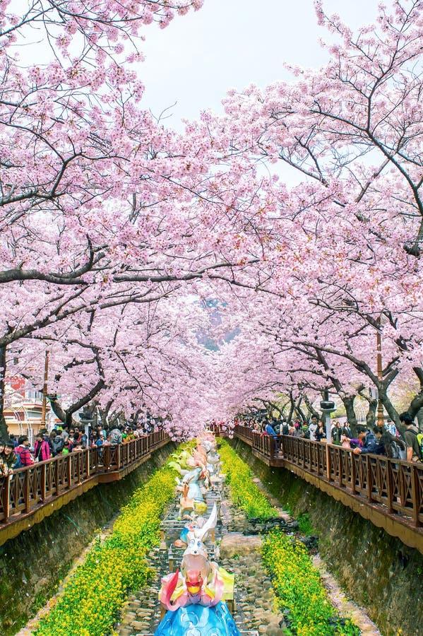 Фестиваль Чинхэ Gunhangje самый большой фестиваль вишневого цвета в Корее стоковые изображения